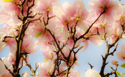 Magnolia Flower Bloom Blossom Tree Sky
