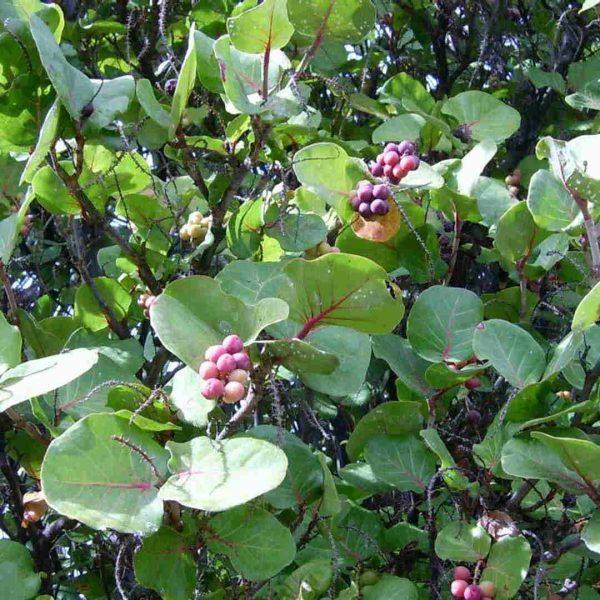 Coccoloba Uvifera Canopy Infusion Leaf Diffuser