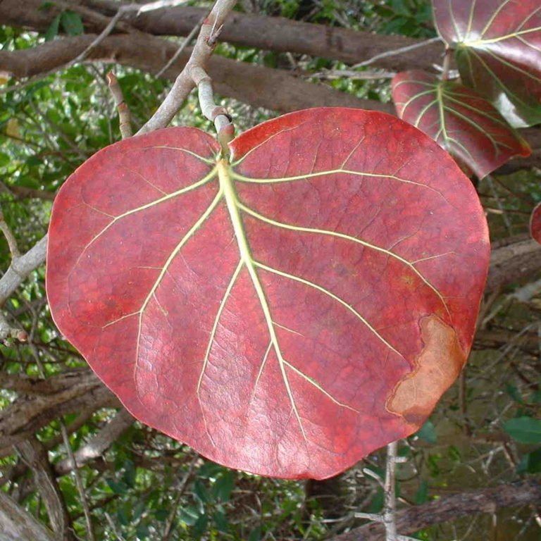 Coccoloba Uvifera Canopy Infusion Red Leaf Diffuser