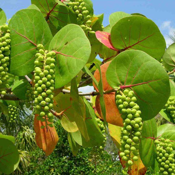 Pairfum Coccoloba Uvifera Canopy Infusion Leaf