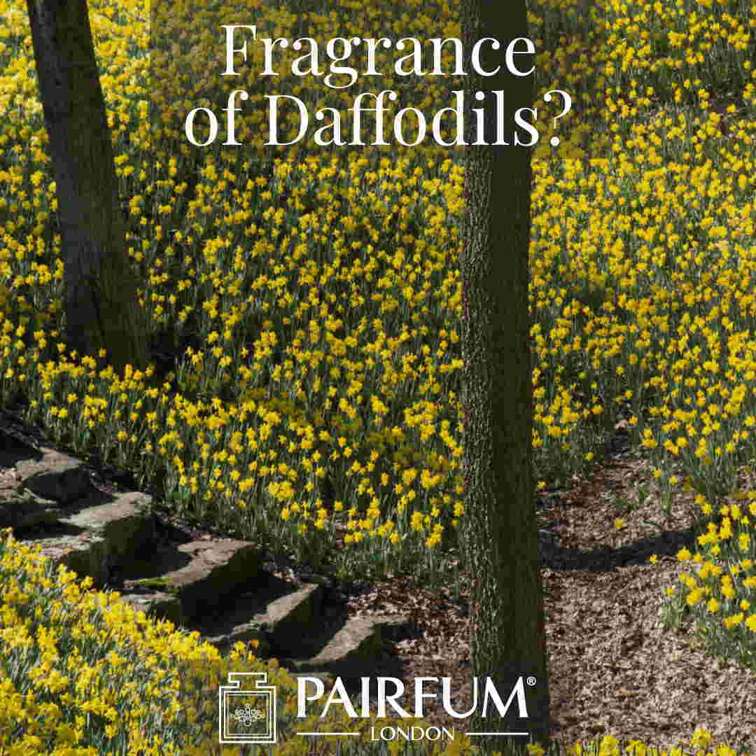 Fragrance Of Daffodils Windsor Great Park