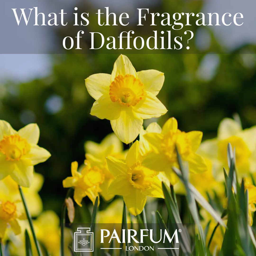 What Is The Scent Of Daffodils Great Windsor Park Uk