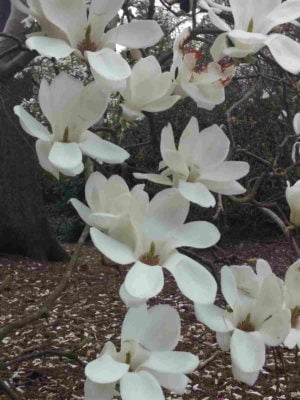 Fragrance Ingredient Natural Essential Oil Magnolia Bloom Windsor Park162531