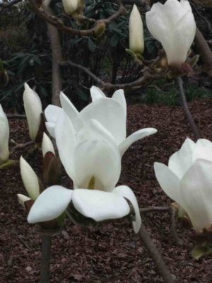 Fragrance Ingredient Natural Essential Oil Magnolia Bloom Windsor Park170812