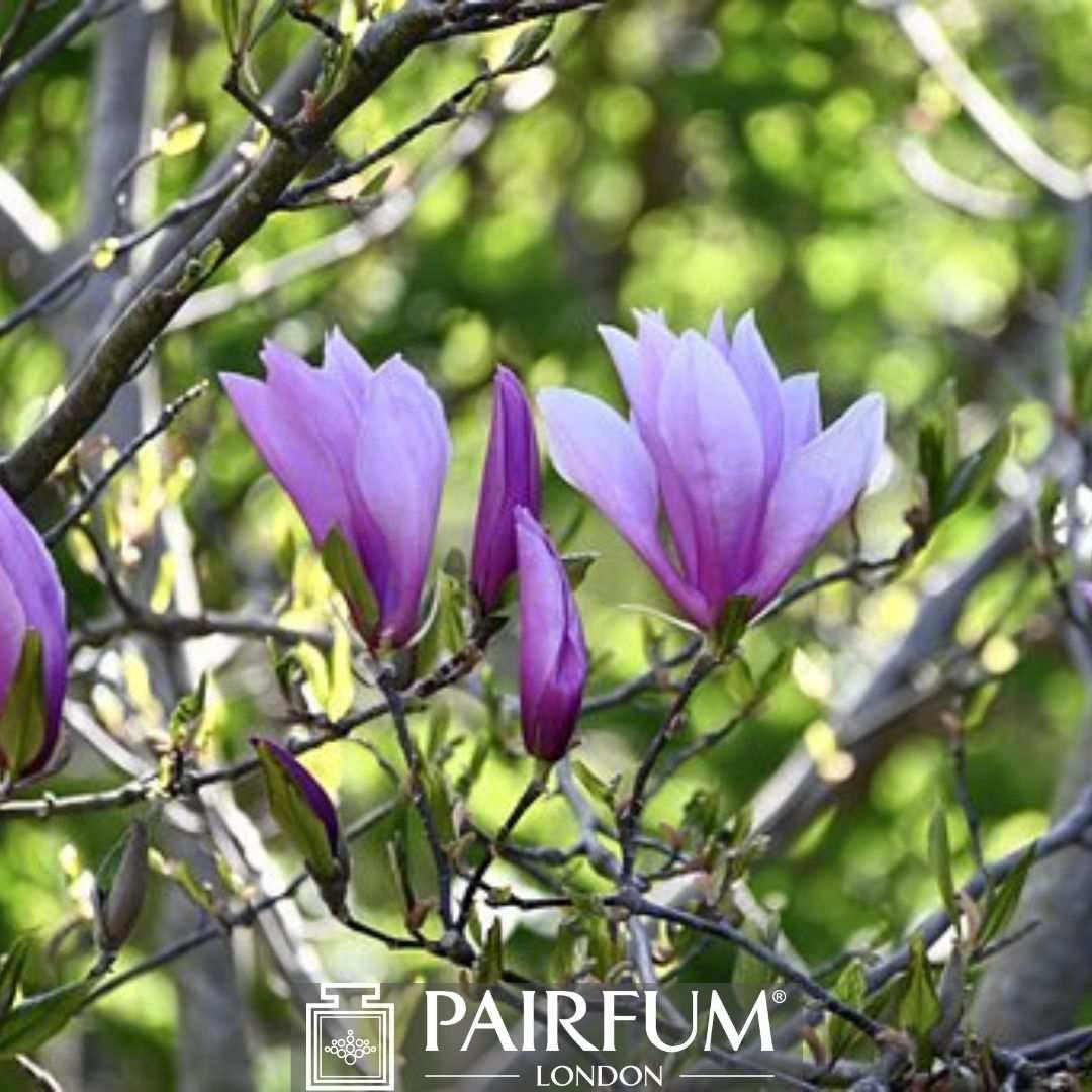 PURPLE MAGNOLIA FLOWERS IN NATURE