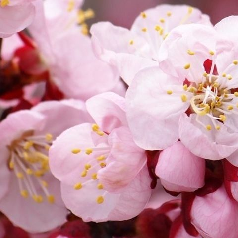PAIRFUM flower apricot blossom natural room fragrance perfume