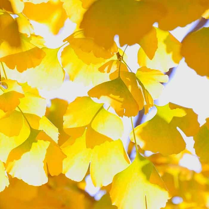 Yellow Leaves Autumn Fragrance Inspirations