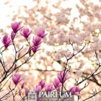 PINK AND WHITE MAGNOLIA PLANT