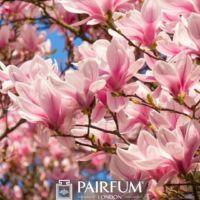 PINK MAGNOLIA FLOWERS PLANT