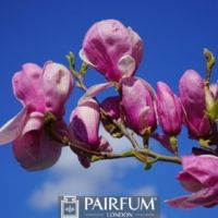 PINK MAGNOLIAS ON A BRANCH AGAINST THE SKY