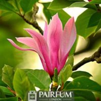 PINK SINGLE MAGNOLIA FLOWER