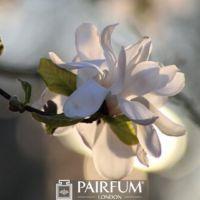 SUNLIT MAGNOLIA FLOWER ON A BRANCH